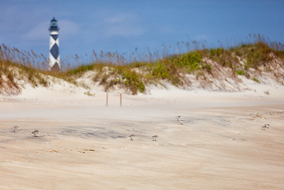 Sandpipers comb the beach in front of Cape Lookout Lighthouse, North Carolina.