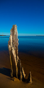 Barnacle-covered stumps line the shore in Goose Creek State Park, North Carolina.