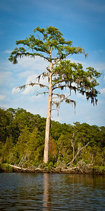 Spanish Moss draped over a pine tree on Flatty Creek