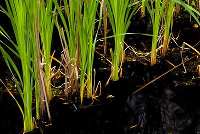 Sedges grow in the marsh along the Palmetto Boardwalk