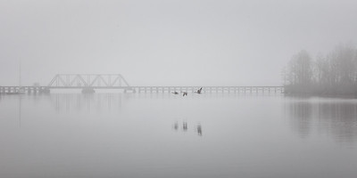 Canadian Geese take to the air in the fog over the Pamlico River, NC