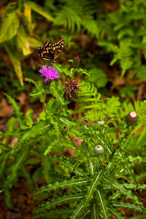 A Palamedes Swallowtail butterfly on a thistle, Mallard Creek Trail.