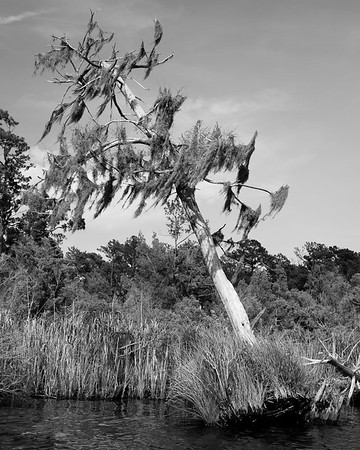 An uprooted pine covered in Spanish Moss on Flatty Creek
