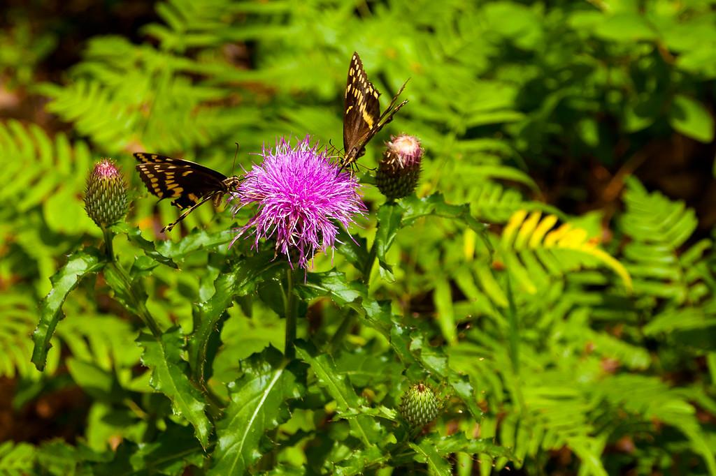 A pair of Palamedes Swallowtail butterflies on a thistle, Mallard Creek Trail.