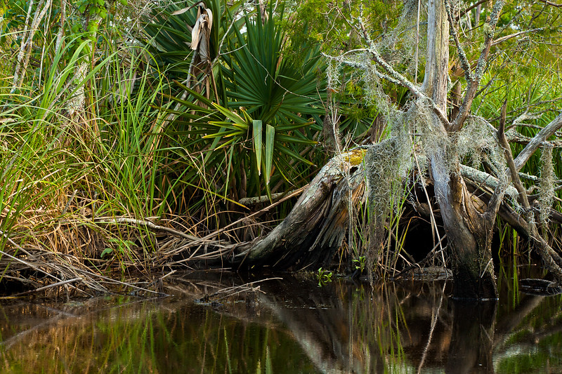Spanish Moss and Dwarf Palmetto growing in Flatty Creek