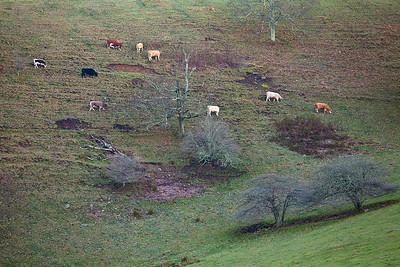 Cattle graze on a hillside along the Blue Ridge Parkway, North Carolina.