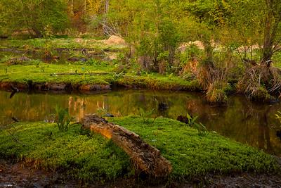 Green Arrow Arum grow in the wetlands near Mark's Creek, North Carolina.