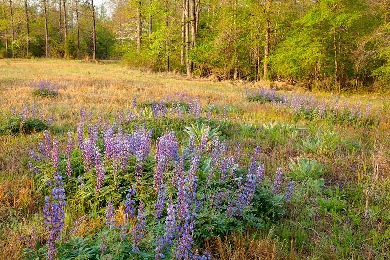 The sun starts to light the Wild Perennial Lupine on Triangle Land Conservancy land near Mark's Creek, North Carolina.