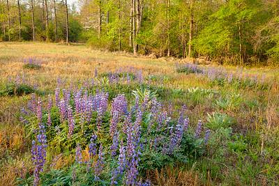 The sun starts to light the Wild Perennial Lupine on Triangle Land Conservancy land near Mark's Creek, North Carolina.