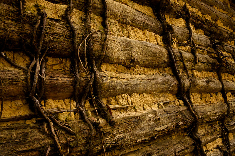 Vines grow on the sides of a log tobacco barn hidden in the woods of Eno River State Park, North Carolina.