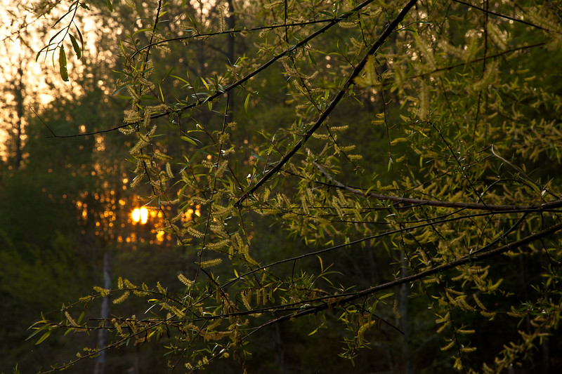 The sun just starts to rise through the hardwood forests near Mark's Creek, North Carolina.