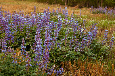 The morning sunlight has not quite made it to these Wild Perennial Lupine near Mark's Creek, North Carolina.