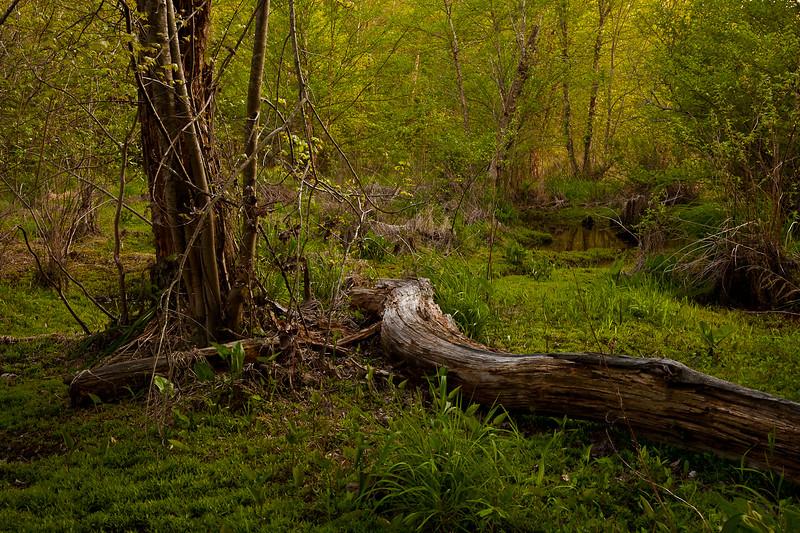 Mixed hardwood forests in the wetlands near Mark's Creek, North Carolina.