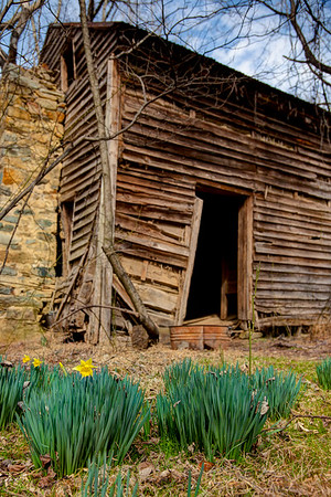 Wild daffodils are the first color to appear in late February, in front of an old cabin off the Buckquarter Creek Trail in Eno River State Park, North Carolina.