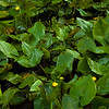 Spatterdock (Cow Lillies) in the conservation wetlands near Mark's Creek, North Carolina.