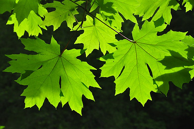 maple leaves @ trappers cabin