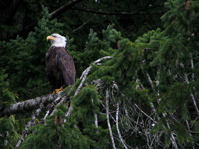 bald eagle patiently waiting for a trout I hope to catch...