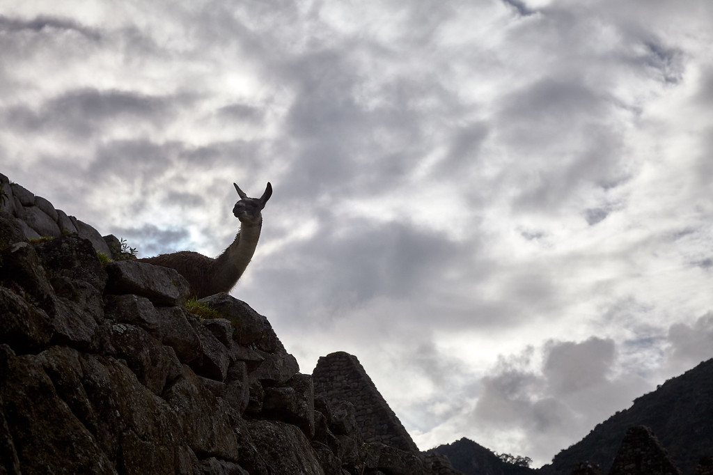 Machu Picchu reverts to llamas during the evening and into early the next morning when tourists start to arrive.