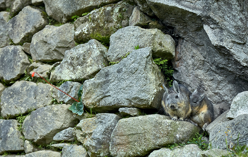 A viscacha mother and baby at Machu Picchu.
