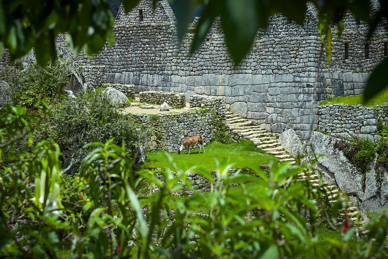 One of Machu Picchu's resident llamas.