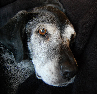 Our 14 year old Lab Minnie.
