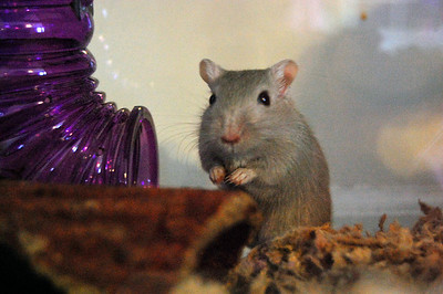 Lucky our gerbil.  We have another - Speedy - but I have not been able to photograph him because he is too fast!