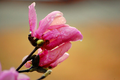 Jane Magnolia aka Tulip Tree in the rain.