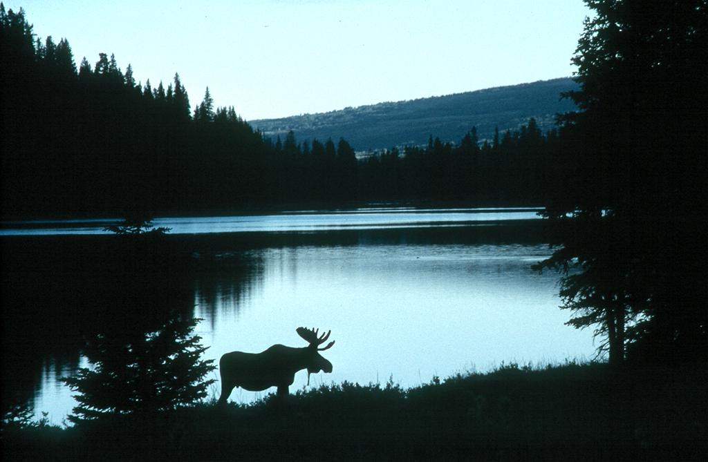 Bull moose in the Wind River Range