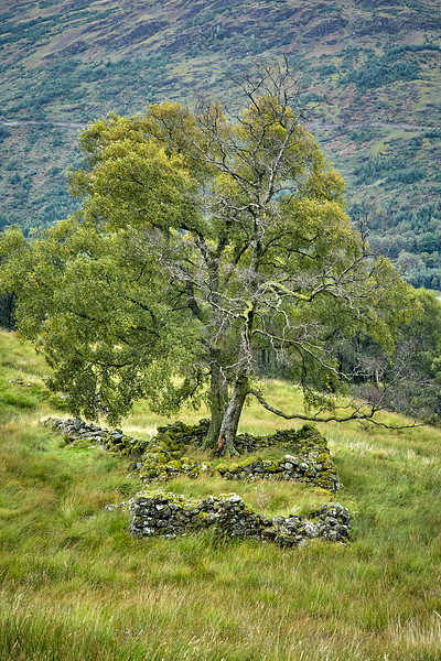 A tree now grows in the middle of old stone ruins to the north of Cnap Mor in Glen Falloch.  Scotland.
