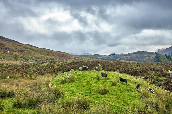 Black sheep at Keilator Farm.  Scotland.