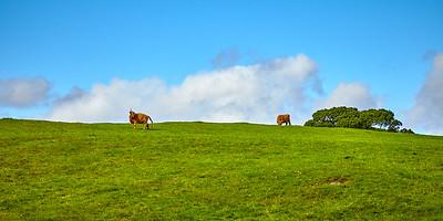 Highland Cattle graze on the shores of Loch Lomond