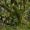 A tree grows in the middle of an old moss-covered stone wall.  Scotland.