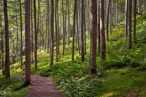 Conifer forests lead into Balmaha after descending Conic Hill on the West Highland Way.  Scotland.