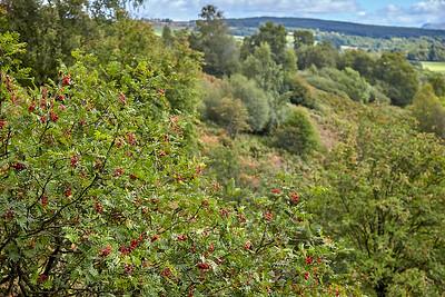 Rowan Trees line the descent of Conic Hill into Balmaha.  Scotland.
