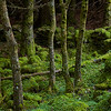 Old stone walls are now covered in moss and clover in the dense forests on the eastern shore of Loch Lomond.  Scotland.
