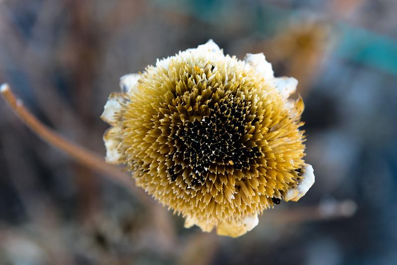 Dry Flower Head