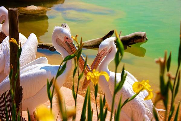 Pelicans, Oceanographic,  Valencia, Spain