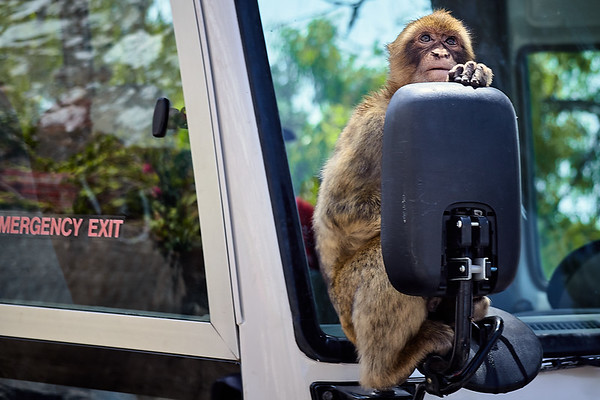 A Barbary macaque hangs on to the sideview mirror of one of the many tour buses.   Gibraltar.