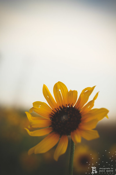 Here is another sunflower but this time I wanted to photographed the sun---flower and the sky.