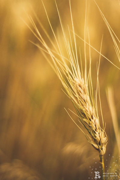 A single strand of wheat is just as beautiful as a rose during spring.