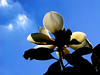 Magnolia grandiflora (Brackens Brown Beauty)