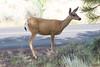 3-legged deer