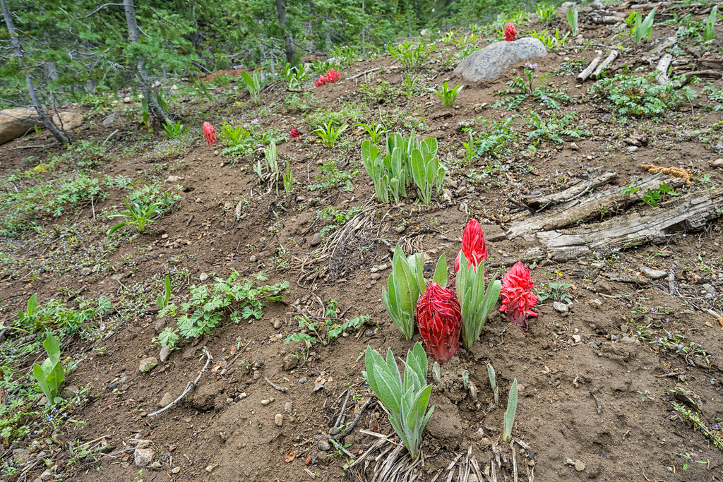 Mule's Ears and Snow Plants emerge in late spring/early summer in Castle Valley.