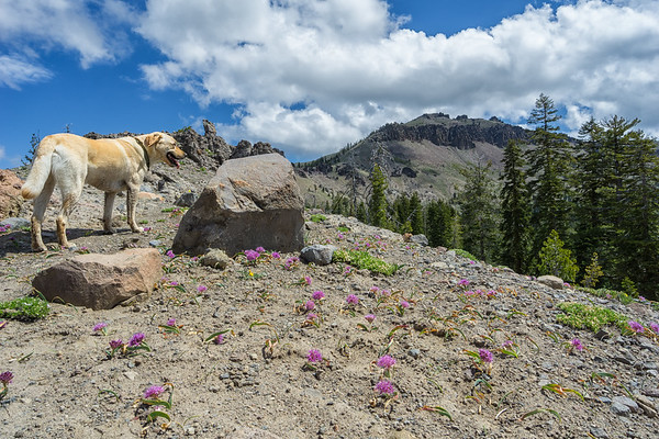 Charlie the Lab taking a break in the wildflowers before ascending Castle Peak, looming a half mile away.
