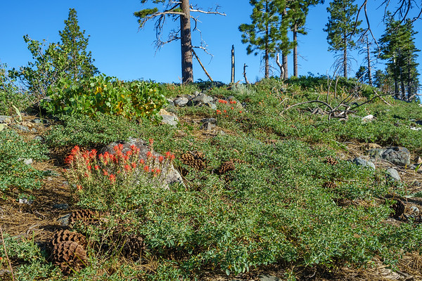Red paintbrush on the ridge above Fallen Leaf Lake, along the Mt Tallac Trail.
