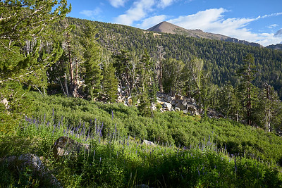 Freel Peak above a meadow of lupine just before reaching Star Lake.