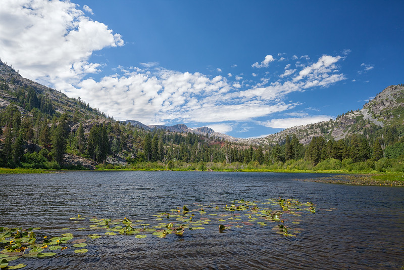 Afternoon winds start to disturb the Cow Lilies spread out among Lily Lake, California.