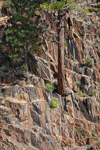 An Incense Cedar and Lodgepole Pine grow out of the rock below Glen Alpine Falls.
