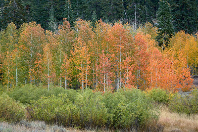 Aspens along North Canyon Road, Lake Tahoe State Park.