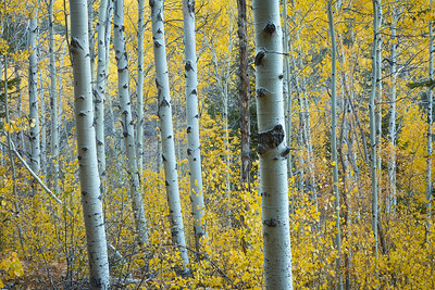 Groves of aspen changing color in the fall along the North Canyon Trail, from Spooner Lake to Marlette Lake.